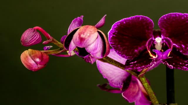 Purple orchid flower growing timelapse