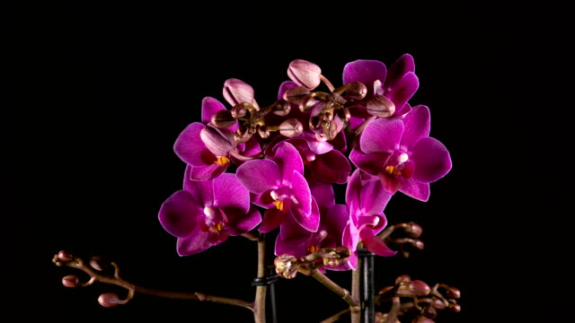 purple orchid flowers blooming on black background