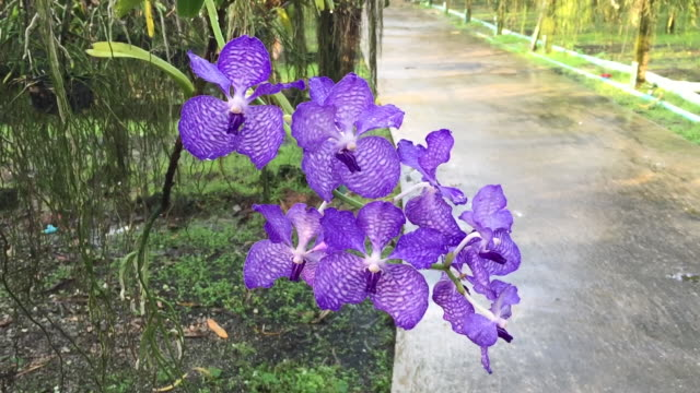 Purple orchid flowers in the orchid garden