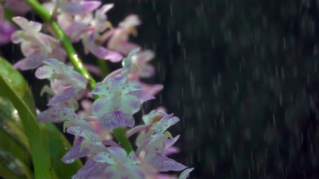 Purple Orchid In Shower Super Slow Motion