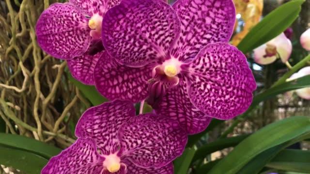 purple orchid on tree , Vanda tessellata.
