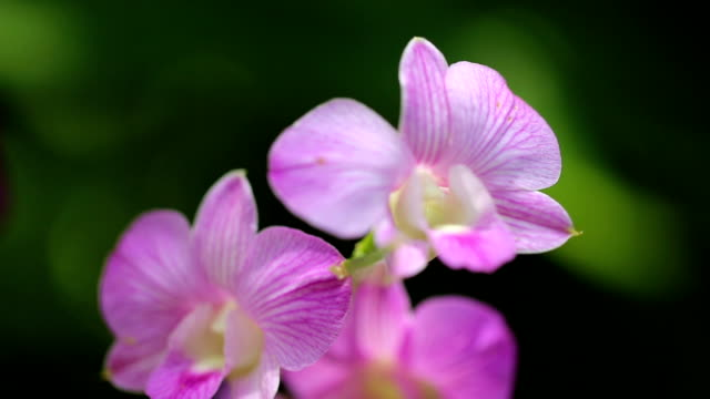 Purple orchid. video