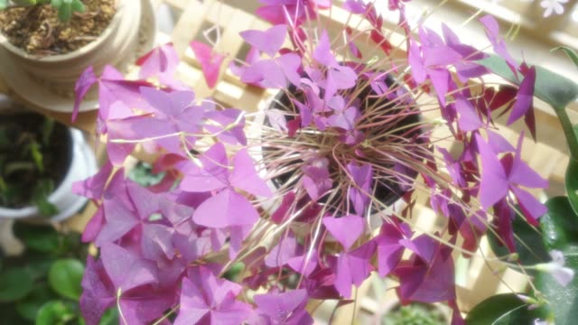 Purple Oxalis triangularis on the flower stand