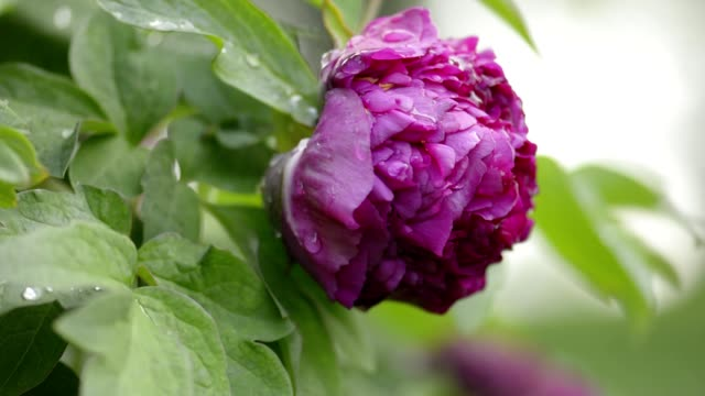 Purple peony flower after rain