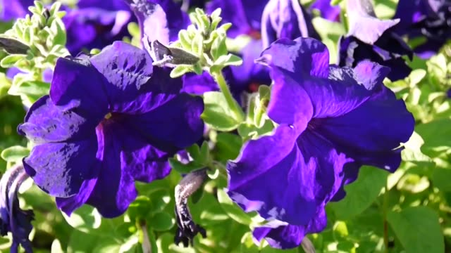 Purple petunias swaying in the breeze video