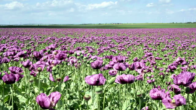 Purple Poppy Field video