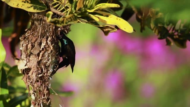 purple sunbird in bardia national park, nepal - park narodowy kanha filmów i materiałów b-roll