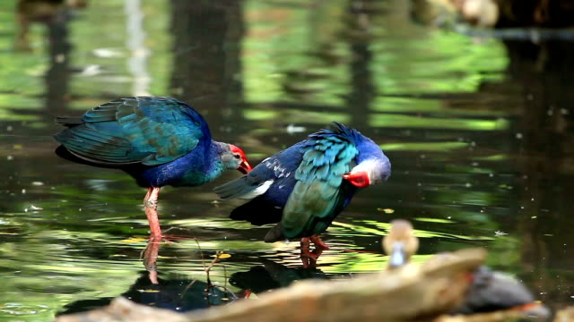 Purple Swamphen Bird in Pond video