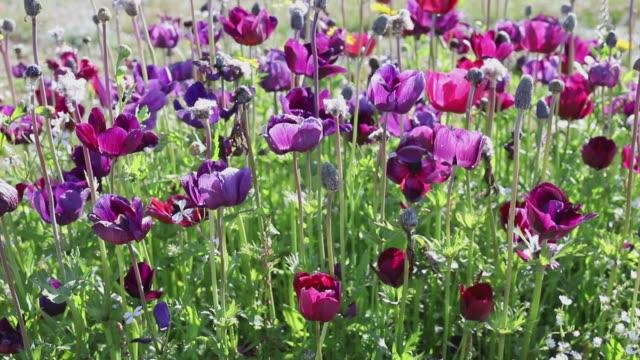 tulipani viola in fiore - giardino pubblico giardino video stock e b–roll