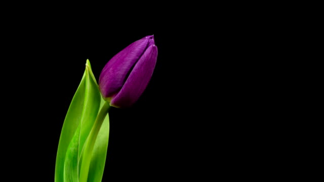 Purple Tulips Time Lapse video