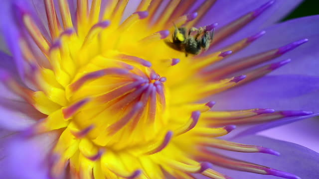 Purple waterlily and bee video