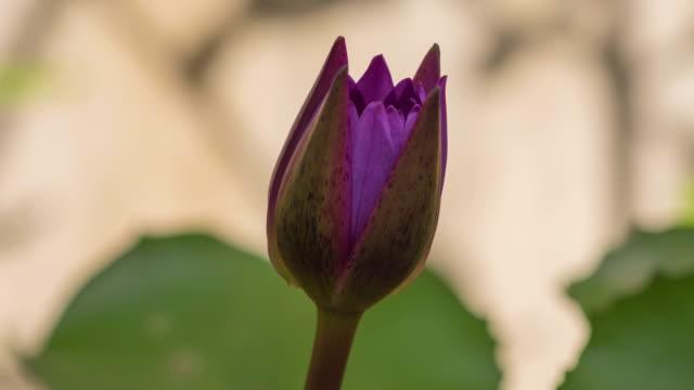 lila näckros blommar tidsfördröjning. - lotusställning bildbanksvideor och videomaterial från bakom kulisserna