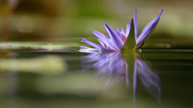 Purple Water-lily in pond