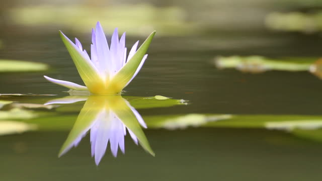 Purple Water-lily (Loopable).