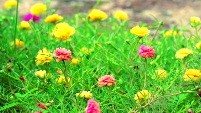 vídeos de stock e filmes b-roll de purslane, rose mose, sun plant pink rose yellow flower blooming in the garden - climate clock