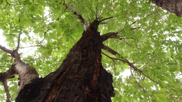 vídeos de stock, filmes e b-roll de empurrando no tiro de uma câmera que funciona acima ao longo de um tronco de árvore com um dossel das folhas e do céu aéreo - primavera estação do ano
