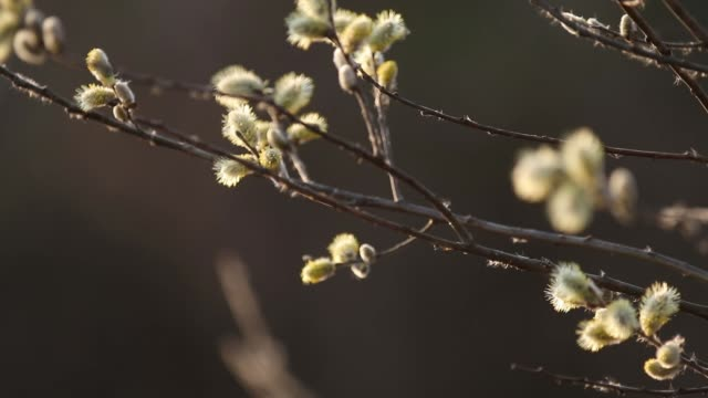 Pussy willow branches in early spring. Natural spring background. Movement along the flowering willow branch in the rays of the evening sun.  Selective focus. Slow motion video. video