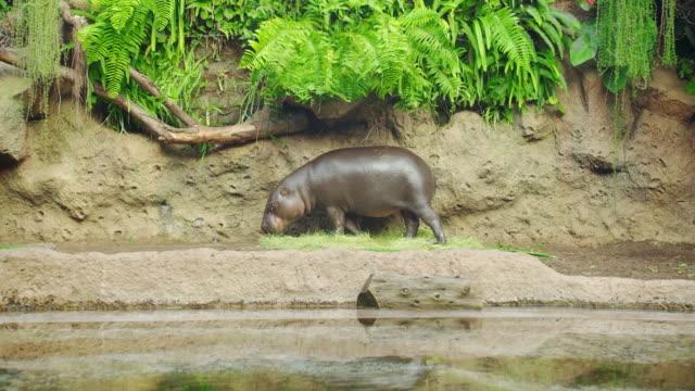 Pygmee nijlpaard in de buurt van water - Hexaprotodon liberiensis. Liberiaans Nijlpaard video