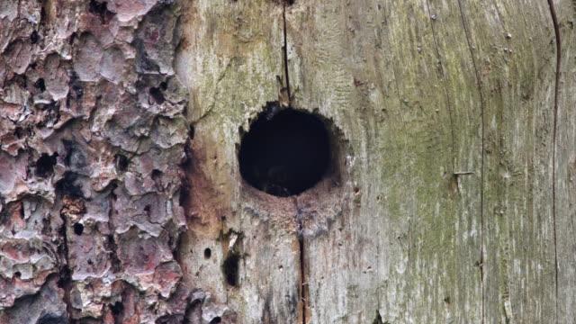 Pygmy owl (Glaucidium) in nest video