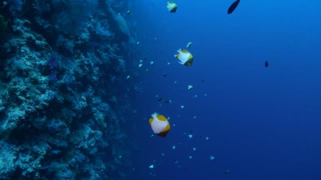 Pyramid butterflyfish schooling in undersea reef Underwater, Palau - May 29, 2017 : Scuba diving undersea (2017_0520_0531-0529_1150_A) undersea stock videos & royalty-free footage