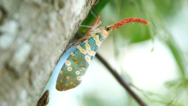 pyrops candelaria - käfer stock-videos und b-roll-filmmaterial