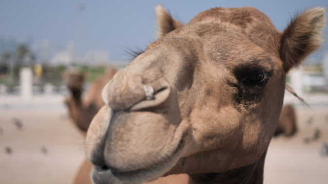 qatar - cammelli in città - souk video stock e b–roll