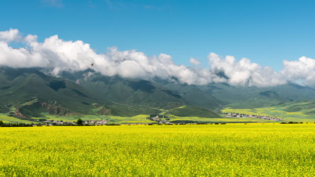 qinghai scenery - colza video stock e b–roll