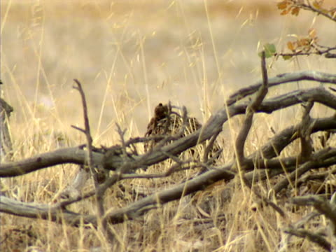 quail video