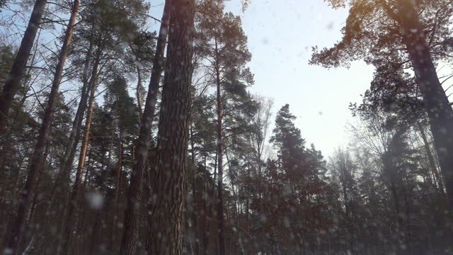 qualität zeitlupe video von starkem schneefall in schönen winter kiefernwald. - schneeflocke sonnenaufgang stock-videos und b-roll-filmmaterial
