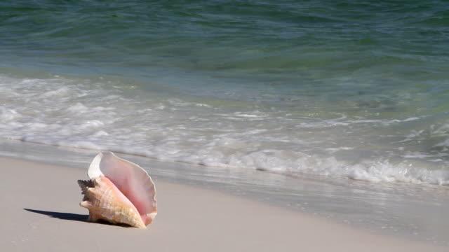 vídeos de stock e filmes b-roll de concha-rainha de ondas - bugio