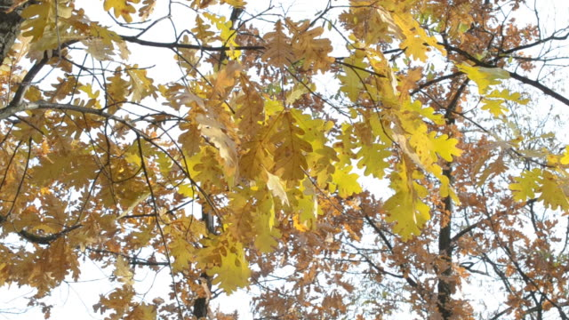 Quercus robur. Branches with yellow foliage of English oak video