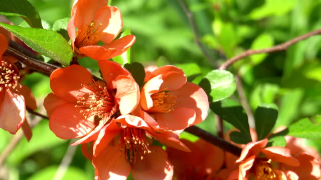 quince branch blooming in spring on a sunny day - pistillo video stock e b–roll