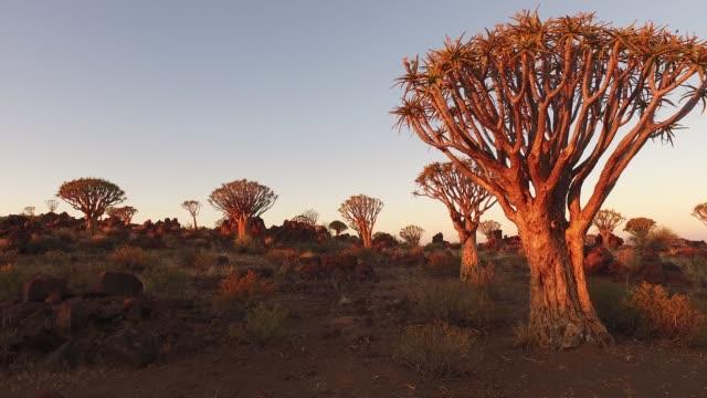 Carcaj árboles al atardecer - Namibia - vídeo
