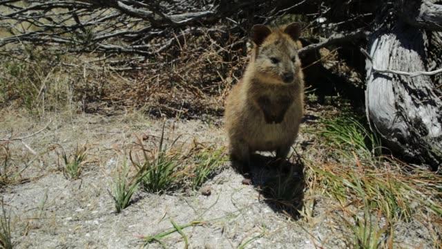 Quokka Rottnest Island video