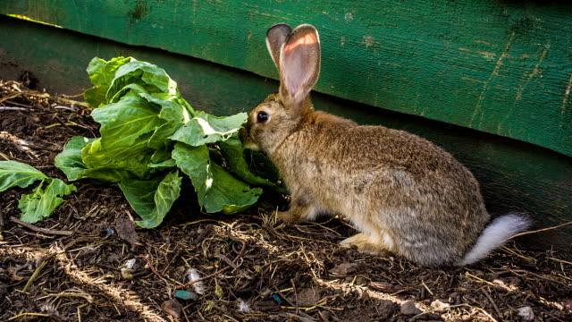 rabbit eat cabbage - crucifere brassicali video stock e b–roll