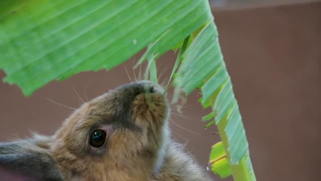 Rabbit eating banana leaf