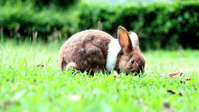vídeos de stock, filmes e b-roll de coelho, encontrar comida no campo - animais da fazenda
