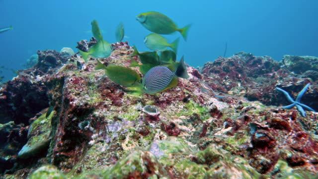 tavşan balığı (siganus javus) çorak mercan resifinde beslenme - i̇htiyoloji stok videoları ve detay görüntü çekimi