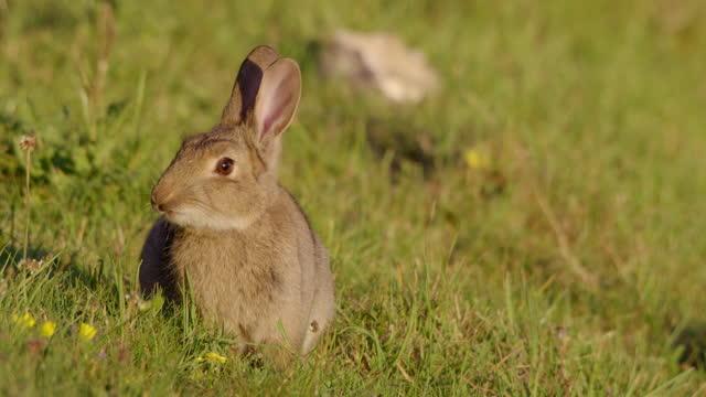 coniglio in campo erboso, dorset, regno unito - fauna selvatica video stock e b–roll