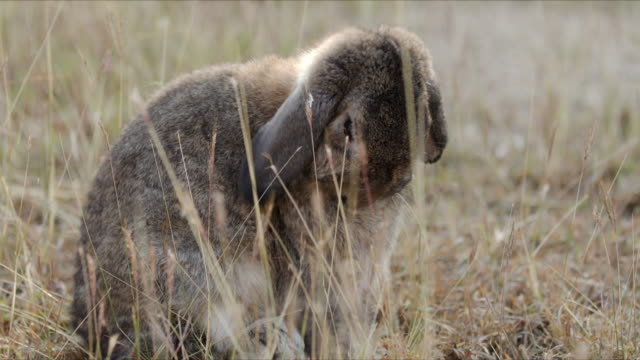 rabbit is cleans its body in the meadow at morning - уход за поверхностью тела у животных стоковые видео и кадры b-roll