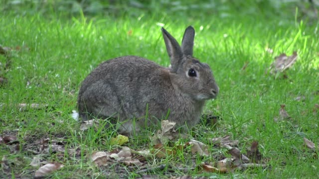 Rabbit nibbling grass. video