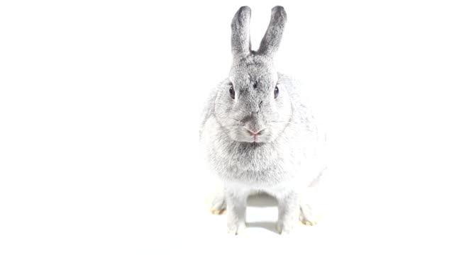 Rabbit on white background video