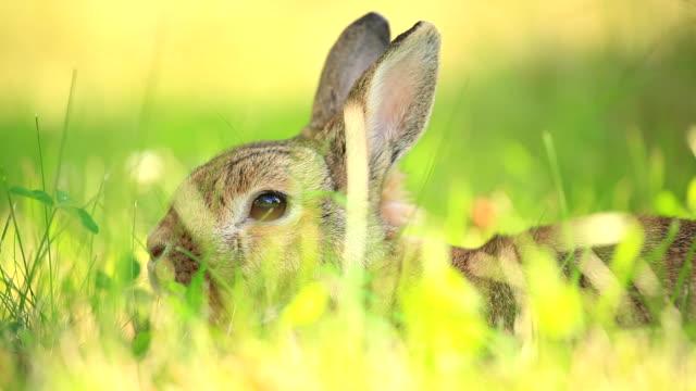 Conejo - vídeo