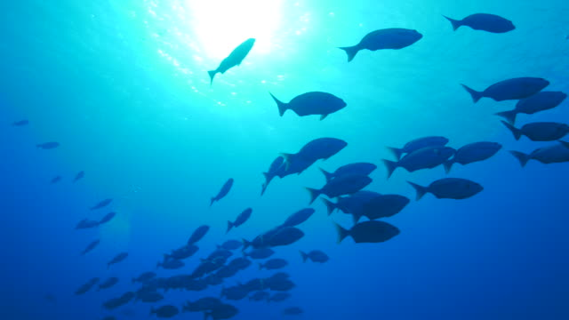 rabbitfish (spinefoot) schooling under sea surface - under the sea fish video stock e b–roll