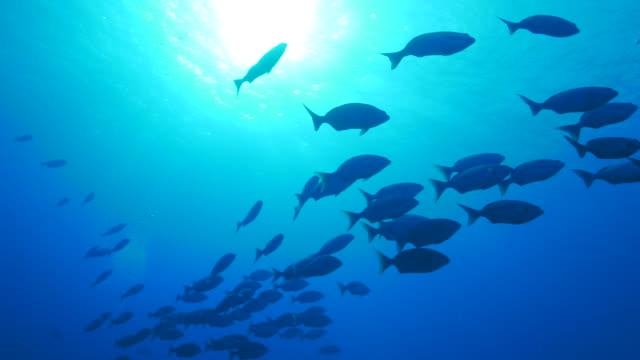 魚油 (洄) 教育在海面下 - 海中 個影片檔及 b 捲影像