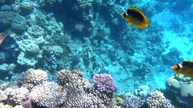 アライグマバタフライフィッシュ(チャエトドン・ルヌラ)は、水中深く泳いで浮かんでいます。 - 魚点の映像素材/bロール
