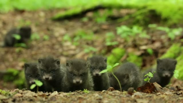 Black wolf pups (Canis lupus) play on forest floor video