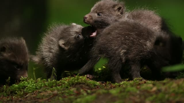 Raccoon dog pups (nyctereutes procyonoides) play on forest floor Nature views in Germany's Black Forest region mammal stock videos & royalty-free footage