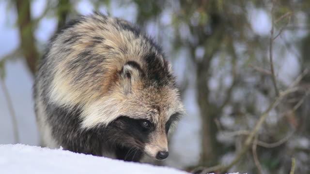 mårdhund - däggdjur bildbanksvideor och videomaterial från bakom kulisserna