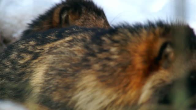 rakun köpek - memeli stok videoları ve detay görüntü çekimi